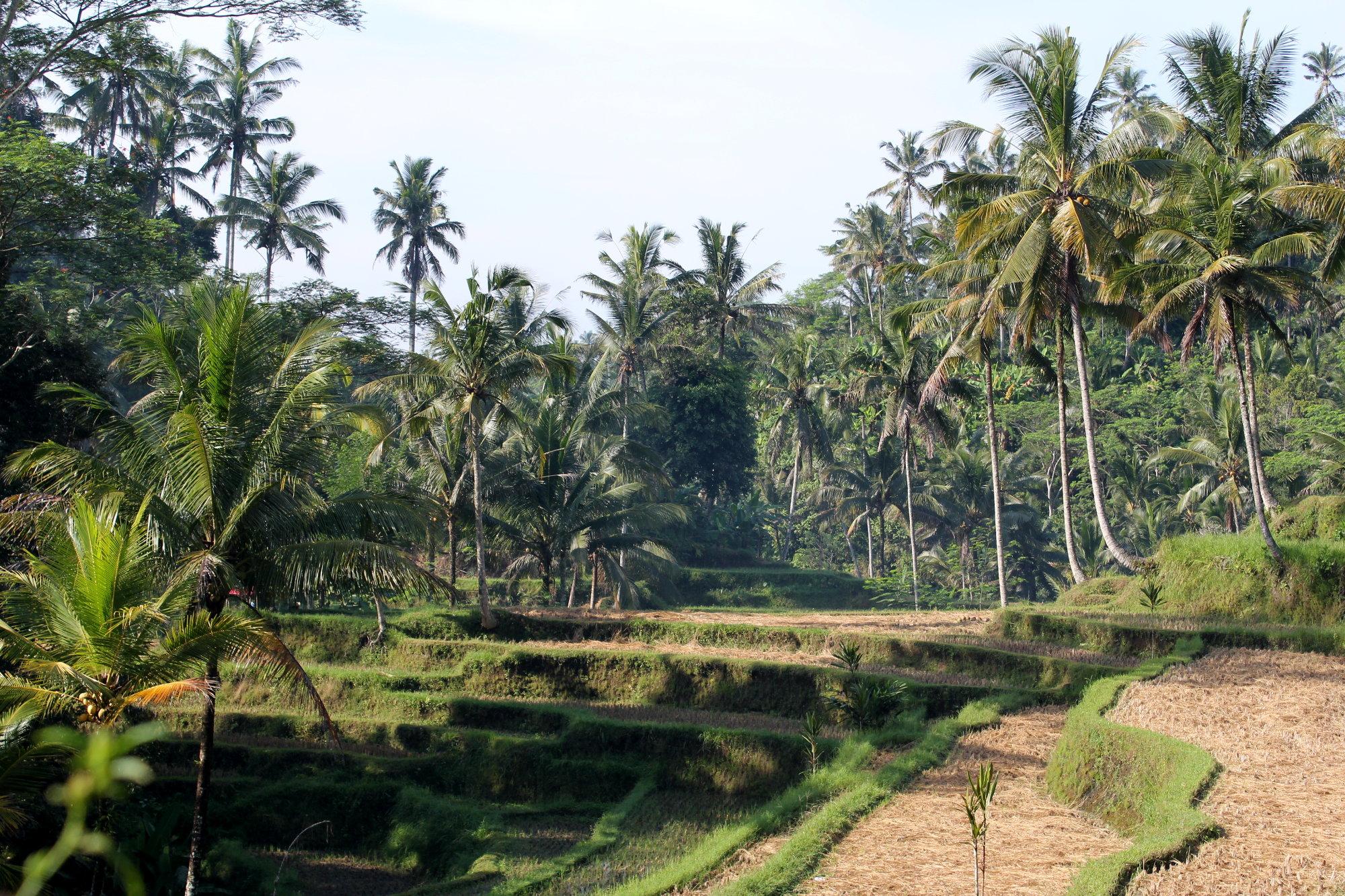 Dans le centre de l'île, les rizières offrent des points de vue assez canon