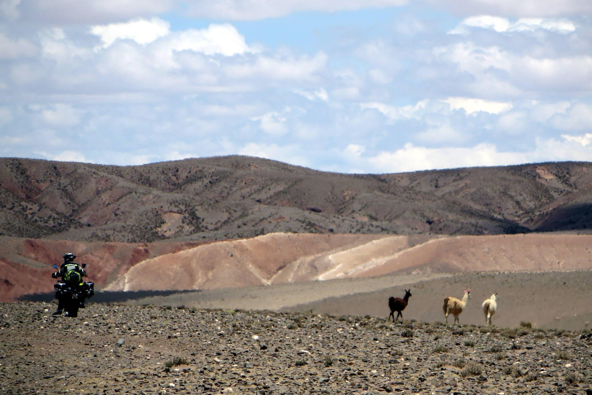 Lamas boliviens